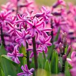 Closeup of hot pink hyacinth flowers, with yellow-green blade-like leaves.