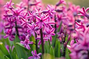 How to Grow Heavenly Hyacinths for Rich Spring Color and Sweet Perfume