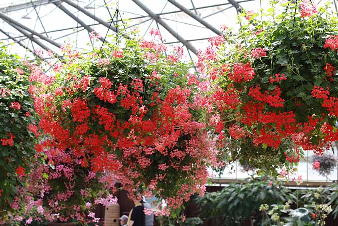 Three ivy leaf geraniums are hanging from the ceiling of a greenhouse. The plants have bright red and pink flowers covering much of the broad leaves that hide underneath.