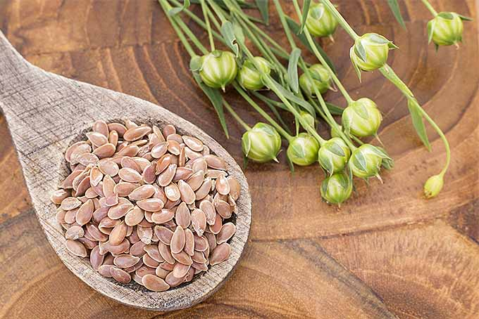A wooden spoonful of light brown flax seeds beside a small bunch of narrow green Linum stems with round yellow-green seed bolls at the end of each stem, on a brown wooden surface.