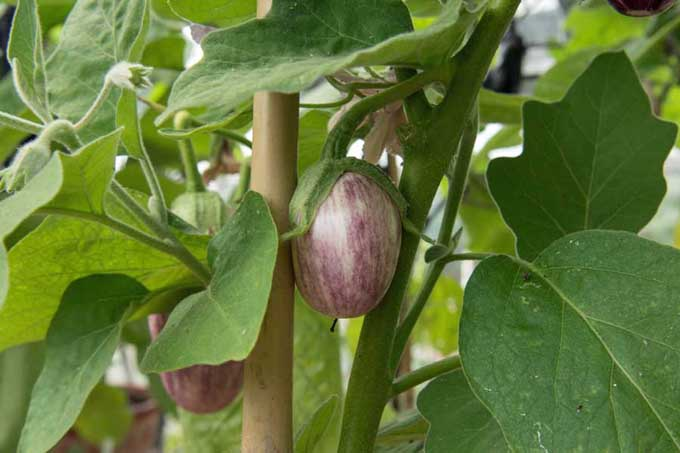 Close up of three striped eggplants on a bush in a garden setting.