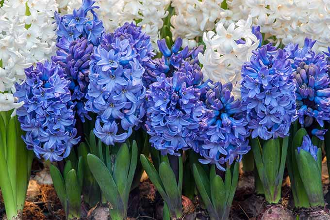 Blue and white hyacinths, with green blade-like leaves.