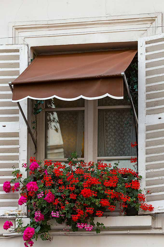 Cascading pink and red ivy geraniums growing in a window box below a window with white shudders and a brown awning.
