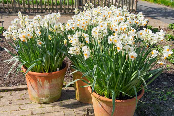 Three large terra cotta flower pots filled with many blooming paperwhites, a type of daffodil with white petals and yellow centers, on long narrow stems with thin green leaves, growing in the sunshine on a cement patio with a fence in the background.