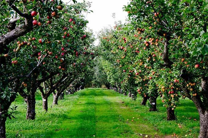 Two Rows Of Trees Bearing Huge Loads Nearly Ripe Les The Red And Orange