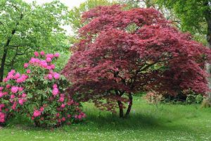 Find the Perfect Japanese Maple for Your Landscape