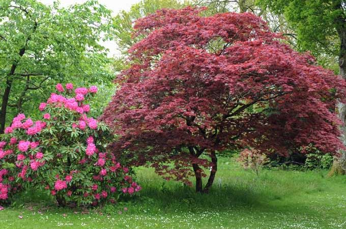 A flowering rose bush is on the left and a colorful purple leafed Japanese maple growing in a residential lawn.