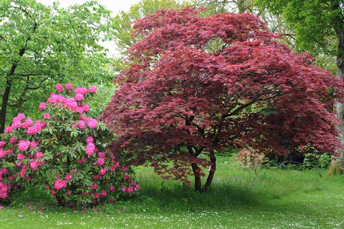 Find Grow The Perfect Japanese Maple For Your Lawn Gardeners Path