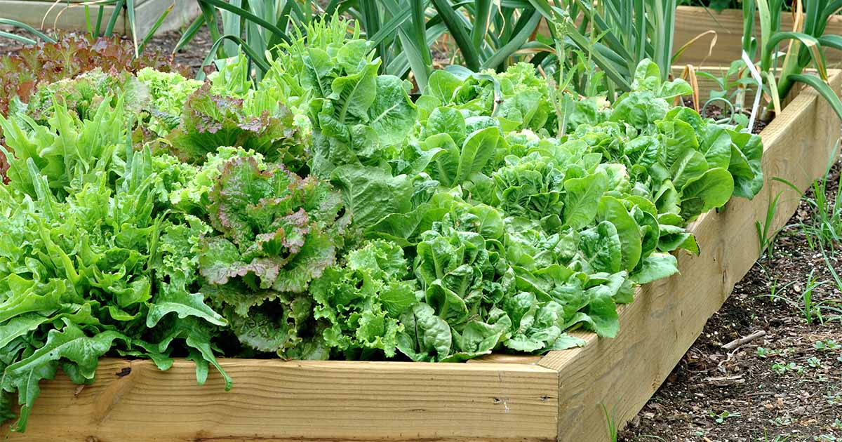How To Grow Leaf Lettuce Gardener S Path