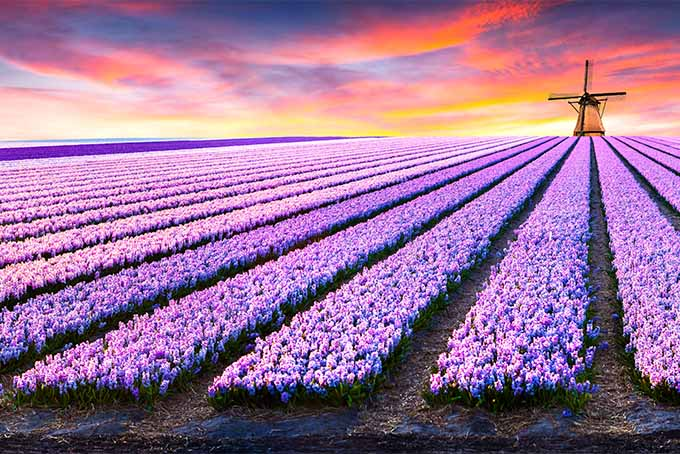 Purple hyacinth fields in Holland at sunset, with a windmill in the distance.
