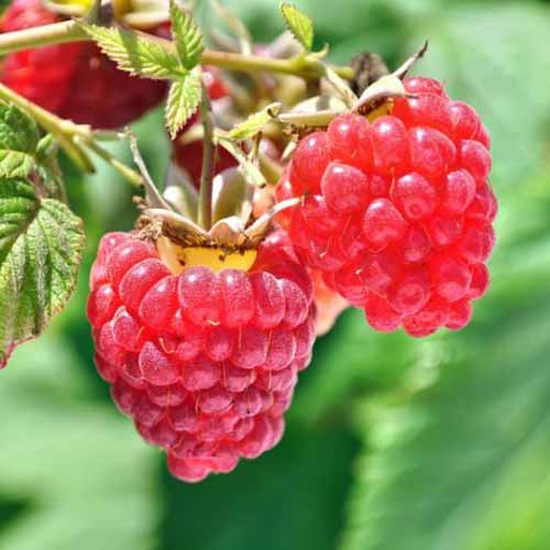 Two plump berries grow at the end of the branch of a heritage raspberry plant. The fruit are bright red with a yellow crown where they attach to the stems.