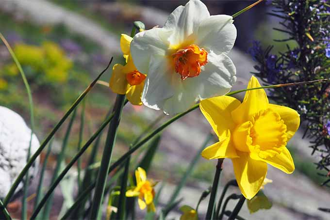 Orange and white daffodils alongside yellow daffodils in various sizes, growing outdoors in the sunshine, with thin green stems and leaf blades.