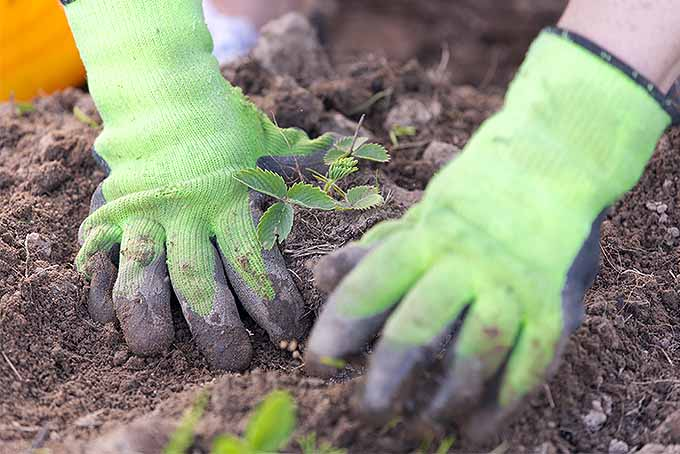 Two green-gloved hands work the soil in a garden bed, planting a small strawberry plant with a lettuce plant in shallow focus in the foreground.