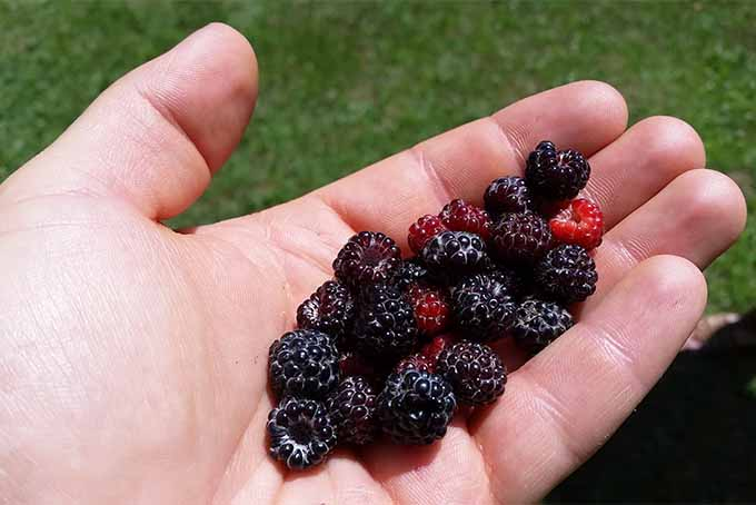 Closeup of a handful of red and dark purple black cap raspberries, with green grass in the background.