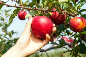 Growing Apple Trees: A Fruitful Primer