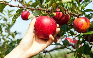 A person is picking a perfectly ripe, bright red apple from a tree branch that is supporting many of the delicious fruits.
