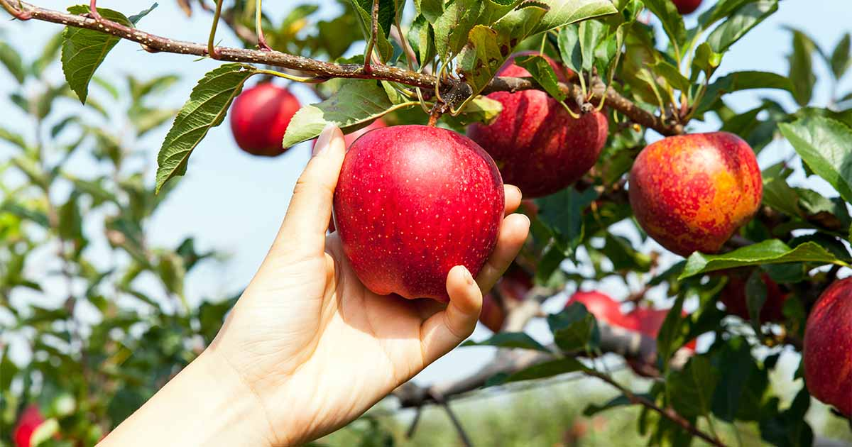 How to Grow Apple Trees at Home | Gardener's Path