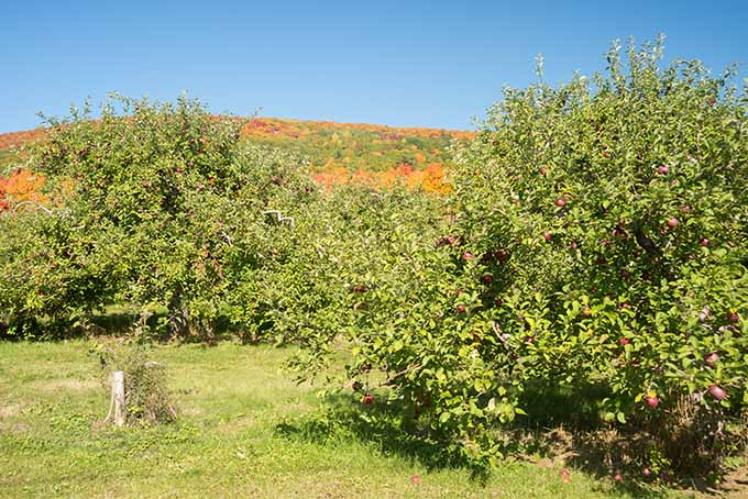 A few apple trees are growing large amounts of fruits that are ready to be picked for the last summer harvest. The trees are not tall, but expand outward in all directions from the trunk making the fruit easy to reach.