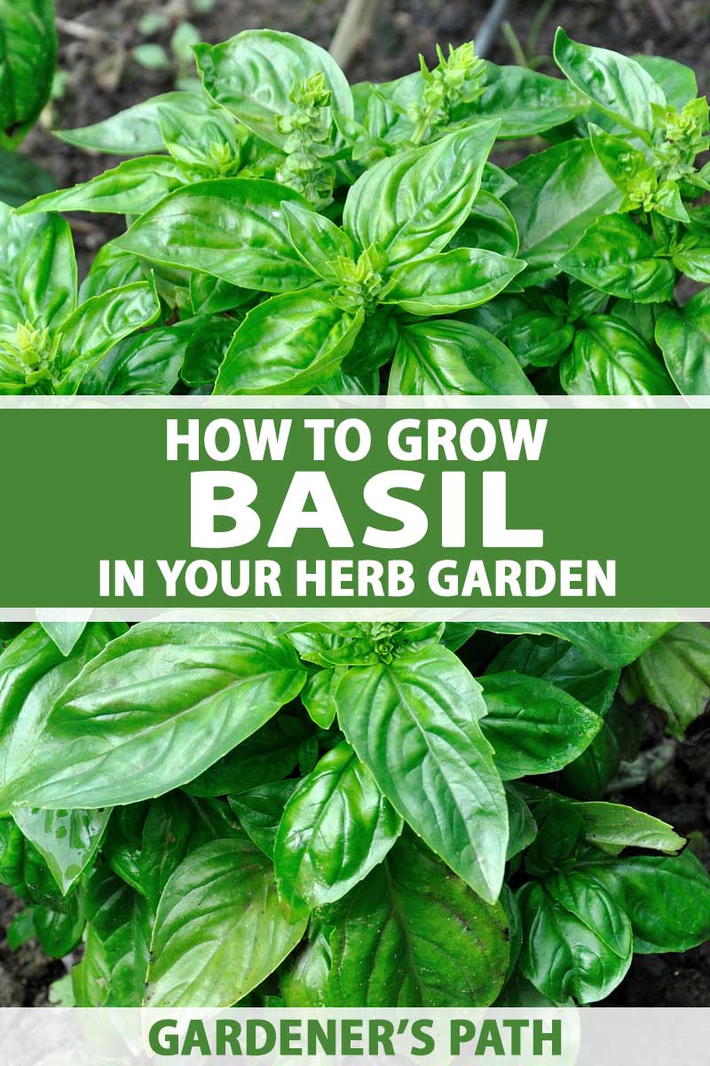 Close up of a basil plant growing in a kitchen herb garden.