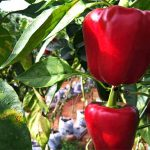 To large red bell peppers growing on a plant with broad green leaves.
