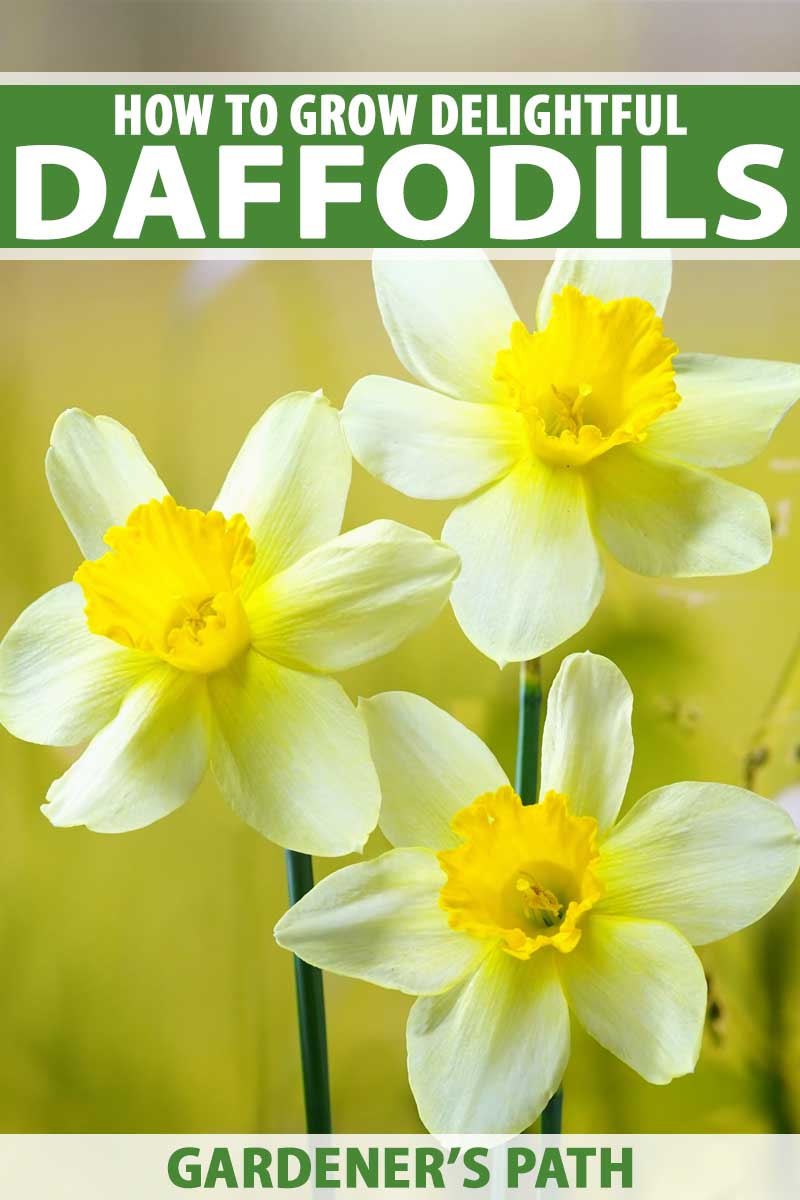Close up of three white and yellow daffodil (narcissus) flowers.