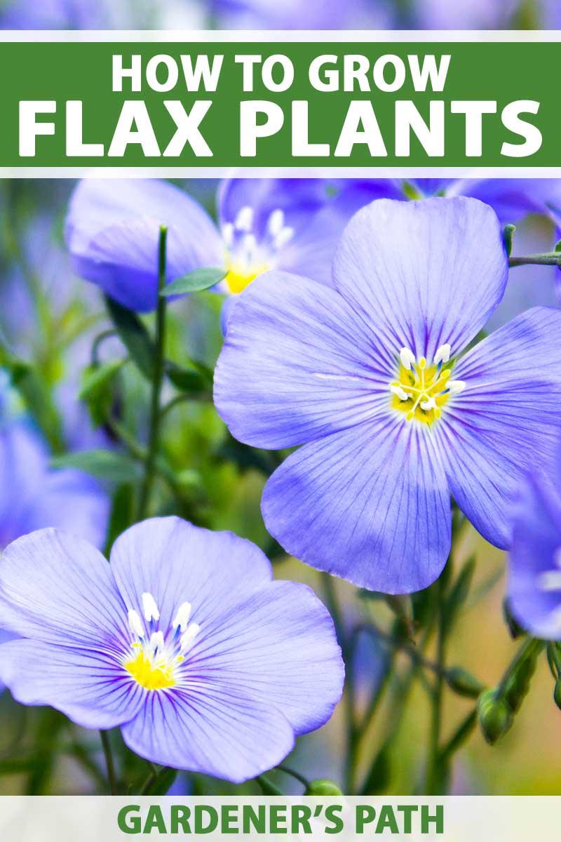 Close up of blue daisy-like flax flowers.