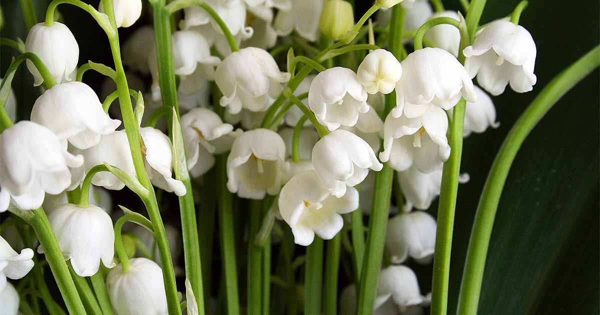 How To Grow Lily Of The Valley A Fragrant Shade Lover Gardeners Path