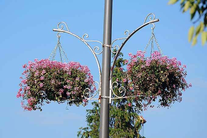 Two pots of ivy leaf geraniums are hanging on the side of a gray street pole. The plants have pink flowers, contrasting against the bright blue sky.