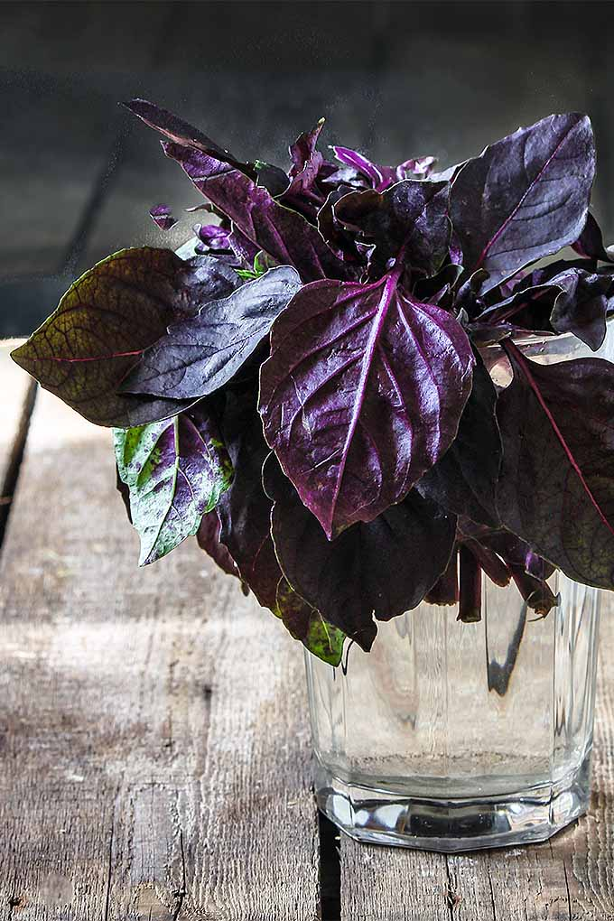 A few sprigs of purple basil in a glass of water, on a brown weathered wooden table.