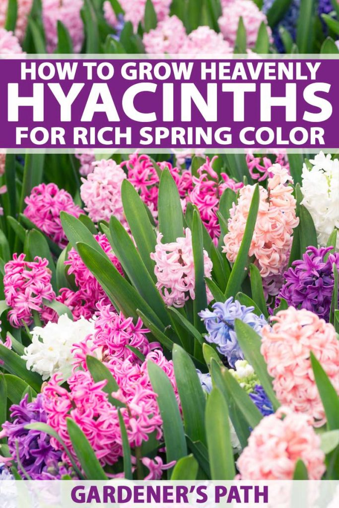 A cluster of white, purple, periwinkle, and peach colored hyacinths.