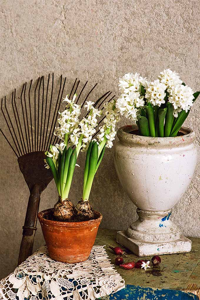 Vertical image of two white hyacinth bulbs with green leaves, white flowers, and visible white bulb portions visible above the soil line in a terra cotta pot in the foreground, next to a white ceramic pedestal pot with more blooming white hyacinths next to it, with a brown wire rack to the left, leaning on a beige stucco wall.