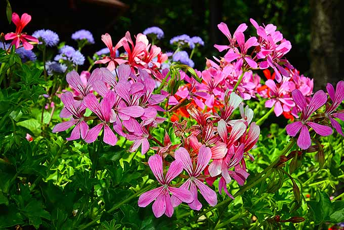 A group of ivy geranium flowers are in full bloom in vibrant shades of pink and red. The flowers all have five or six petals and reach far beyond the leaves of the plants. In the background, some lavender colored blossoms can be seen reaching above everything else.