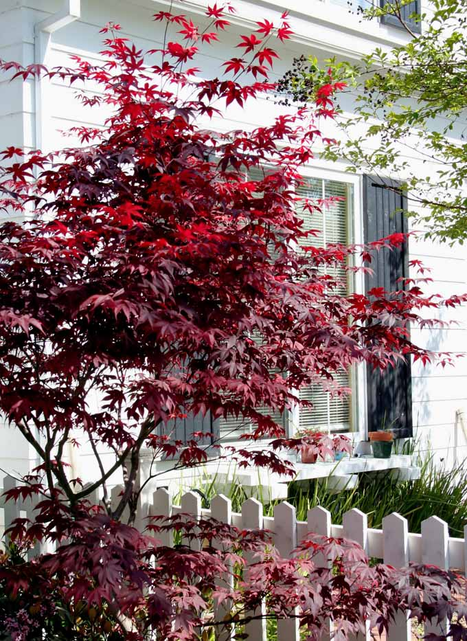 A Maroon Leafed Anese Maple Growing Next To Traditional White American Style House