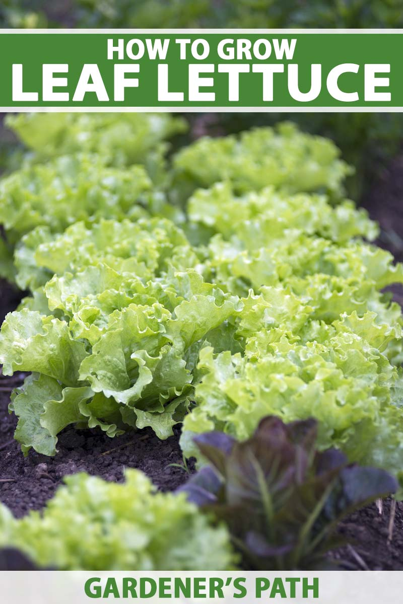 Close up of a green leaf lettuce growing in a vegetable garden.
