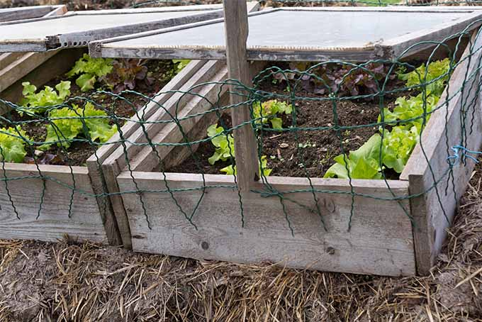 Two wooden cold frames with plexiglass tops and green protective wire on the fronts, with small lettuce plants growing inside in brown soil, with muddy dry straw or hay underneath the planters.