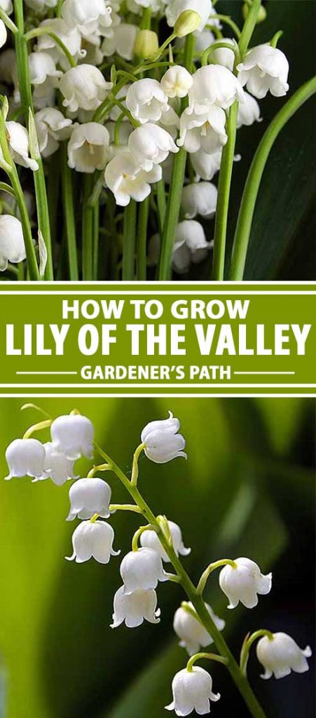 A collage of photos showing different views of Lily of the Valley in bloom.
