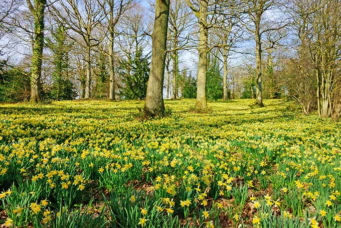 A field of blooming yellow daffodils with vibrant green stems and leaves, growing in the springtime among several bare trees, with a few evergreens in the distance.