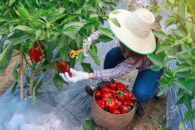 A woman in a plaid long-sleeve shirt, jeans, and a straw hat kneels on the ground and harvests a red sweet bell with orange pruners from a plant with green stems and leaves, before putting it into the basket in front of her which is filled with red sweet peppers, with plastic over the mounded dirt in the row where the bell pepper plant is growing.