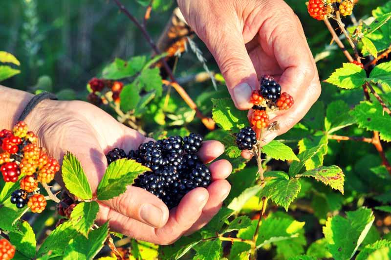 Human hands picking wild blackberries.