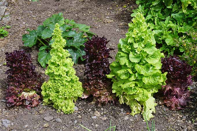 Alternating planting of green and red leaf lettuces that have bolted and grown into tall towers of leaves that start large at the bottom and become smaller the higher you go, growing in brown soil in the sunshine.