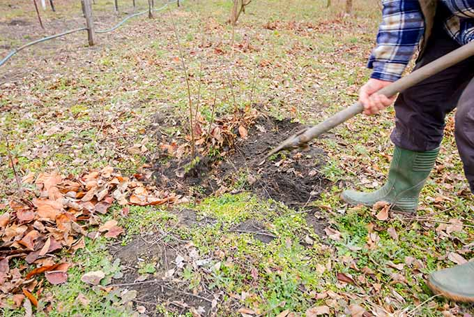 A man wearing a blue flannel shirt, with green rubber boots is wielding a shovel and is using it to clear away the weeds and debris from the base of several young apple tree saplings.