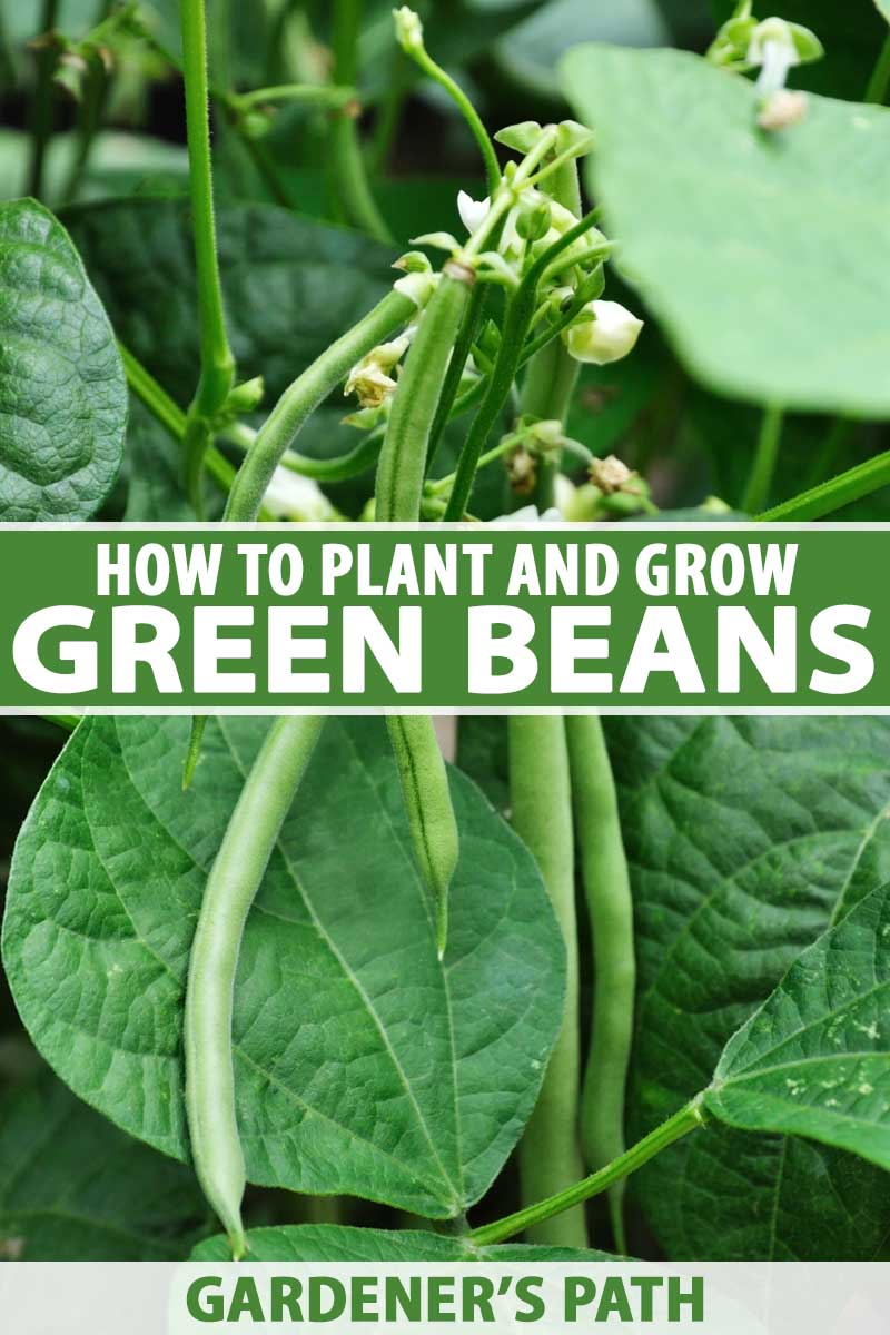 A cluster of green beans are holding on as they near ripeness and prepare to be picked. The blossoms of the plant are small and white and arrange themselves near to the vegetables. The broad leaves mix in the background with the long stems of the plant.