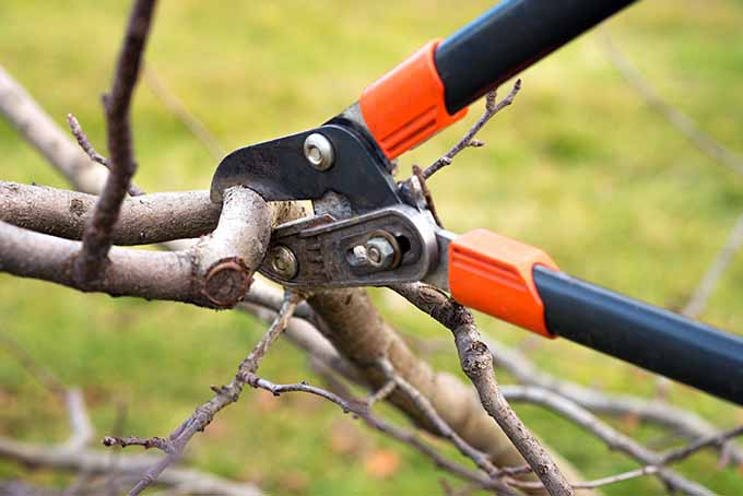 Loppers with orange and black handles are in the middle of cutting a branch of an apple tree.