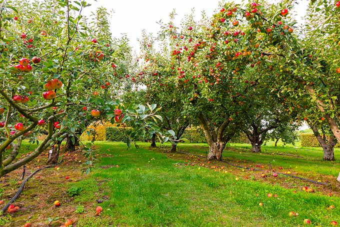 An apple orchard with several rows of trees bearing heavy loads of red and yellow fruit ready to be picked. In between the rows the grass is bright green and well trimmed.