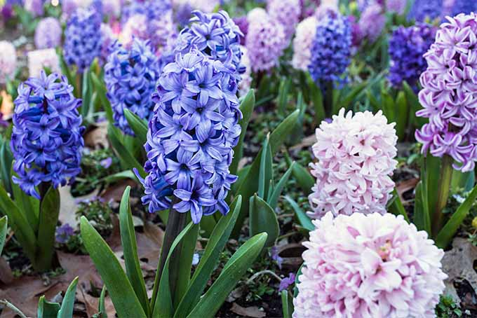 Blue, lavender, and pink springtime hyacinths in bloom, with green foliage, growing in brown earth topped with some dry, brown leaves.