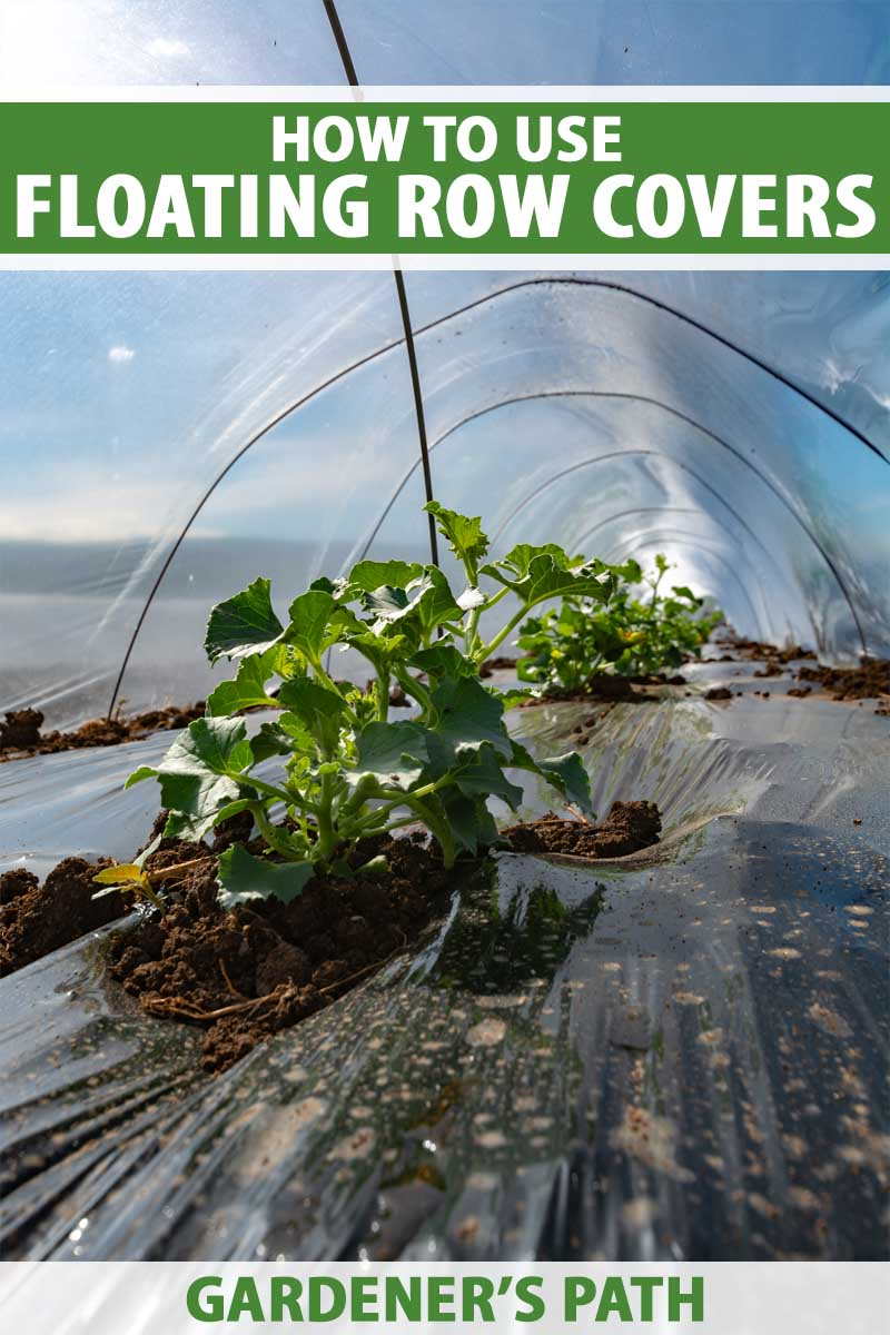 Young vegetable plants growing inside of a floating row cover.