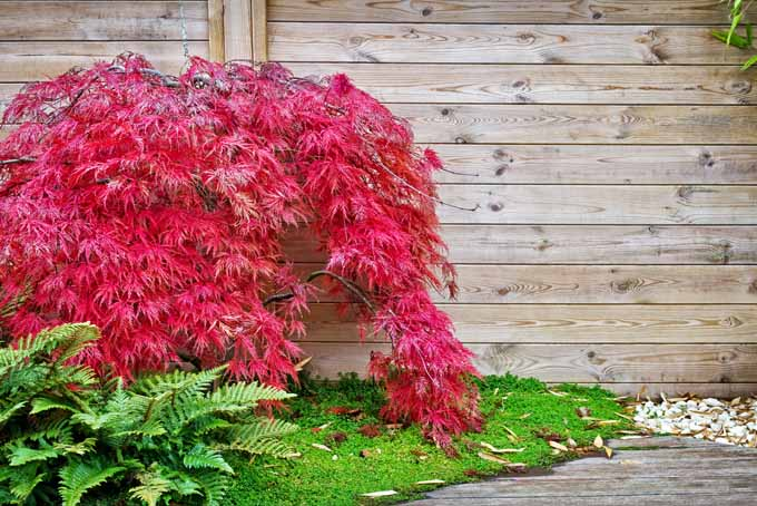 A low growth Japanese maple growing up a wooden wall.