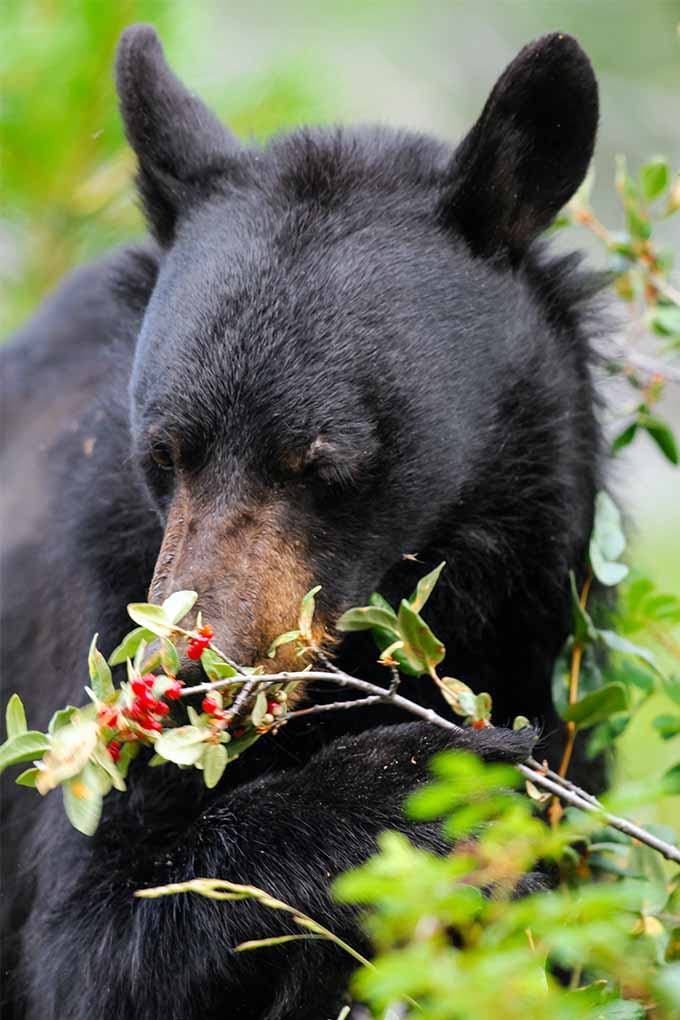 A black bear with brown muzzle eats small red berries growing on a branch with pale green leaves.