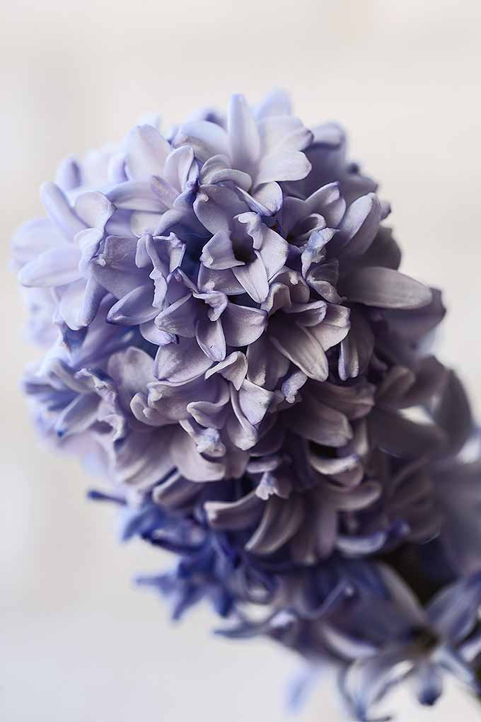 Closeup vertical image of a lavender colored hyacinth, with one large cluster of many smaller flowers, on a beige background.