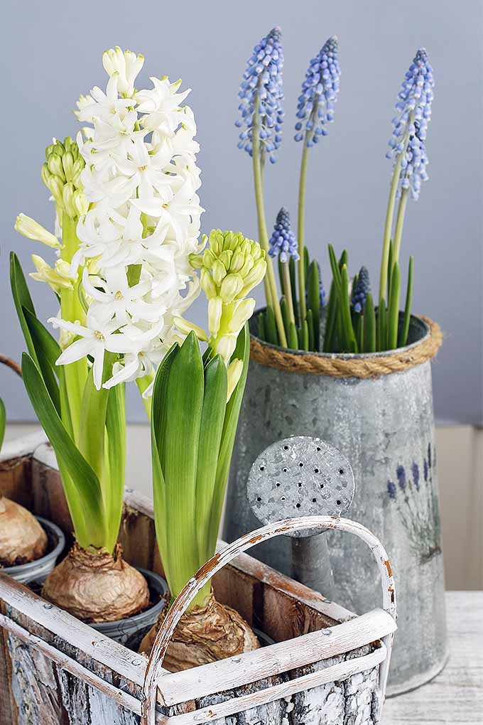 Vertical image of white H. orientalis bulbs with green leaves blooming in a square metal basket in the foreground, and grape hyacinths growing in a tall stein-style container in the background, on a beige surface with a blue-gray backdrop.